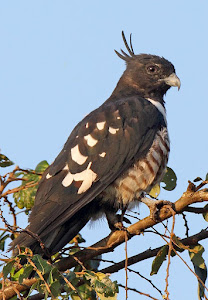 Black Baza