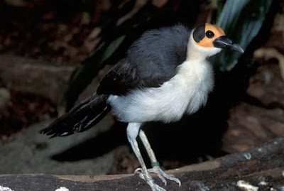 White Necked Rockfowl Bird 2