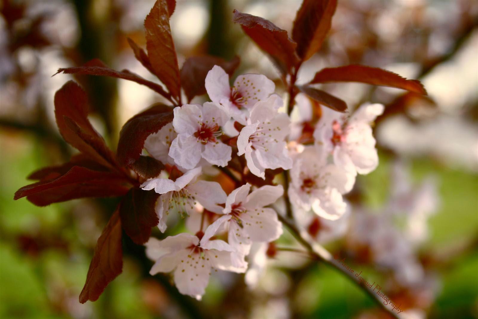 lovely white spring blossoms
