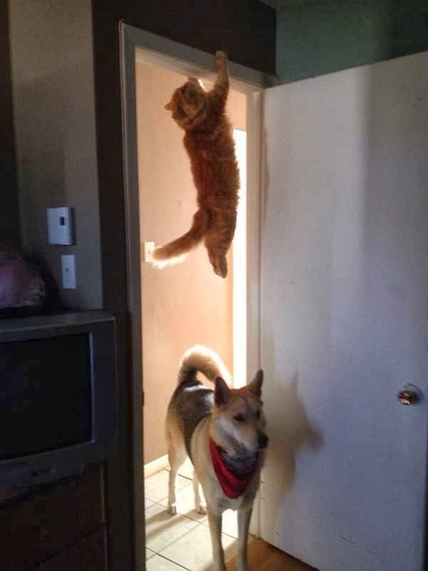 Funny animals of the week - 27 December 2013 (40 pics), cat hanging on door