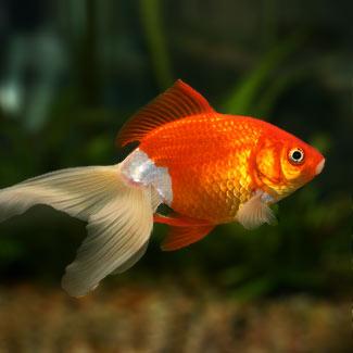 Aqua psicola for Enfermedades de peces de agua fria