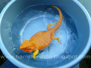 Jual Super red Bearded Dragon