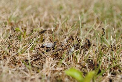 myror i gräsmattan