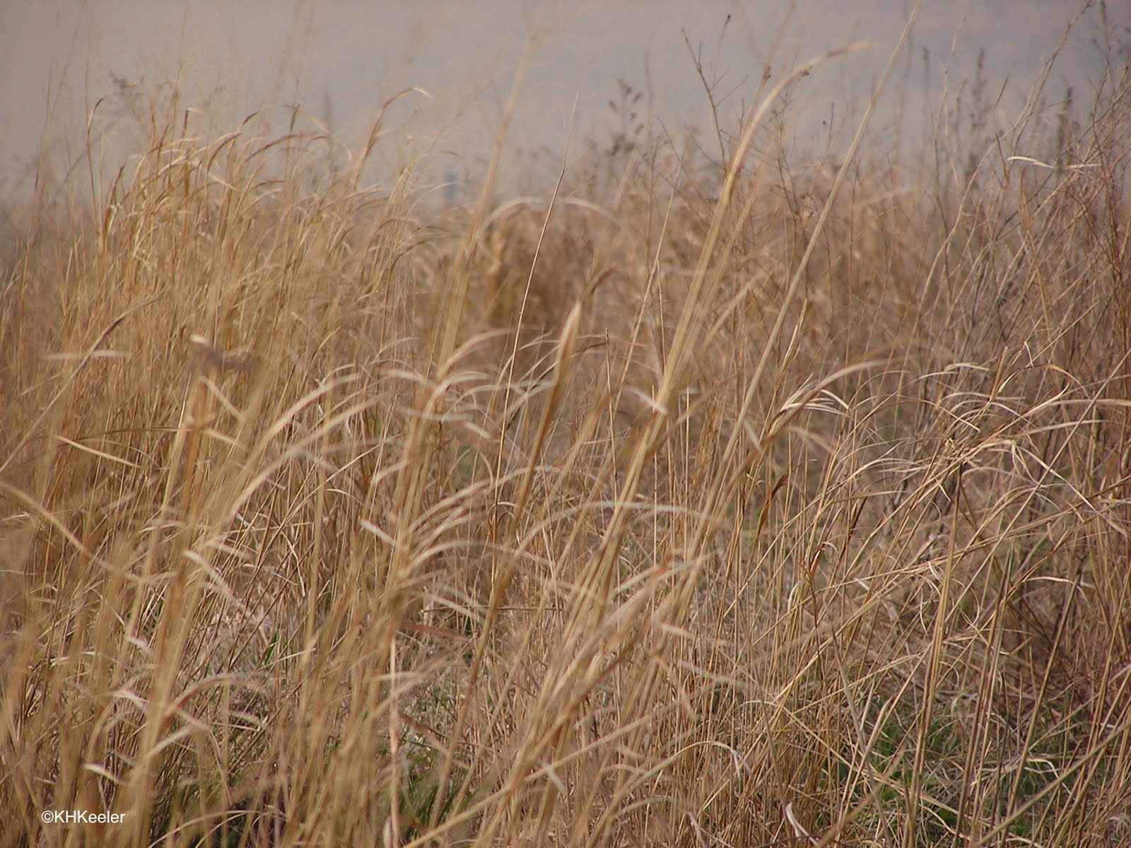 A wandering botanist tallgrass prairie the lost ecosystem for Very tall ornamental grasses
