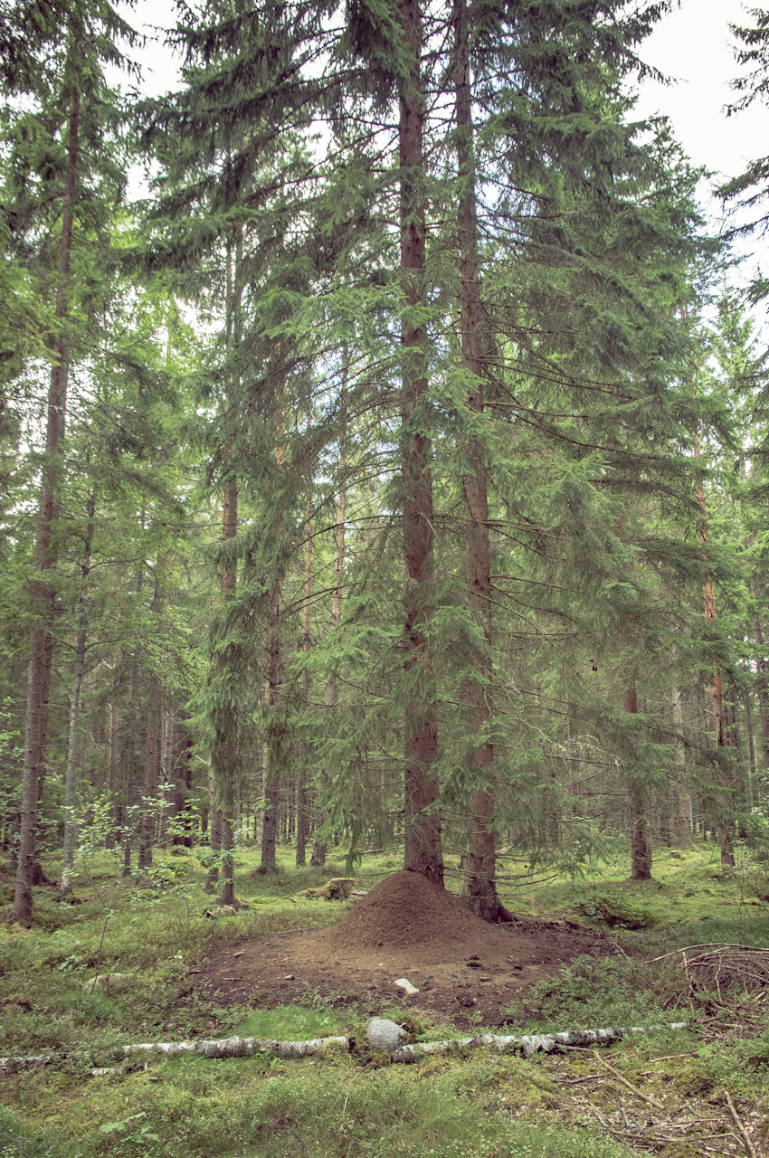 Amweisenhaufen im Wald