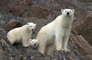 We spot 13 Polar Bears on the northern shore of Bellotstrait during our passage