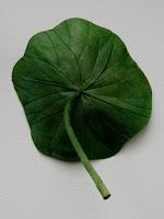 2+lotus+leaf.JPG