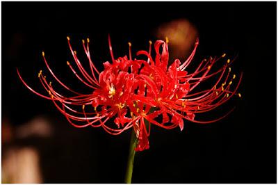 makna bunga lily