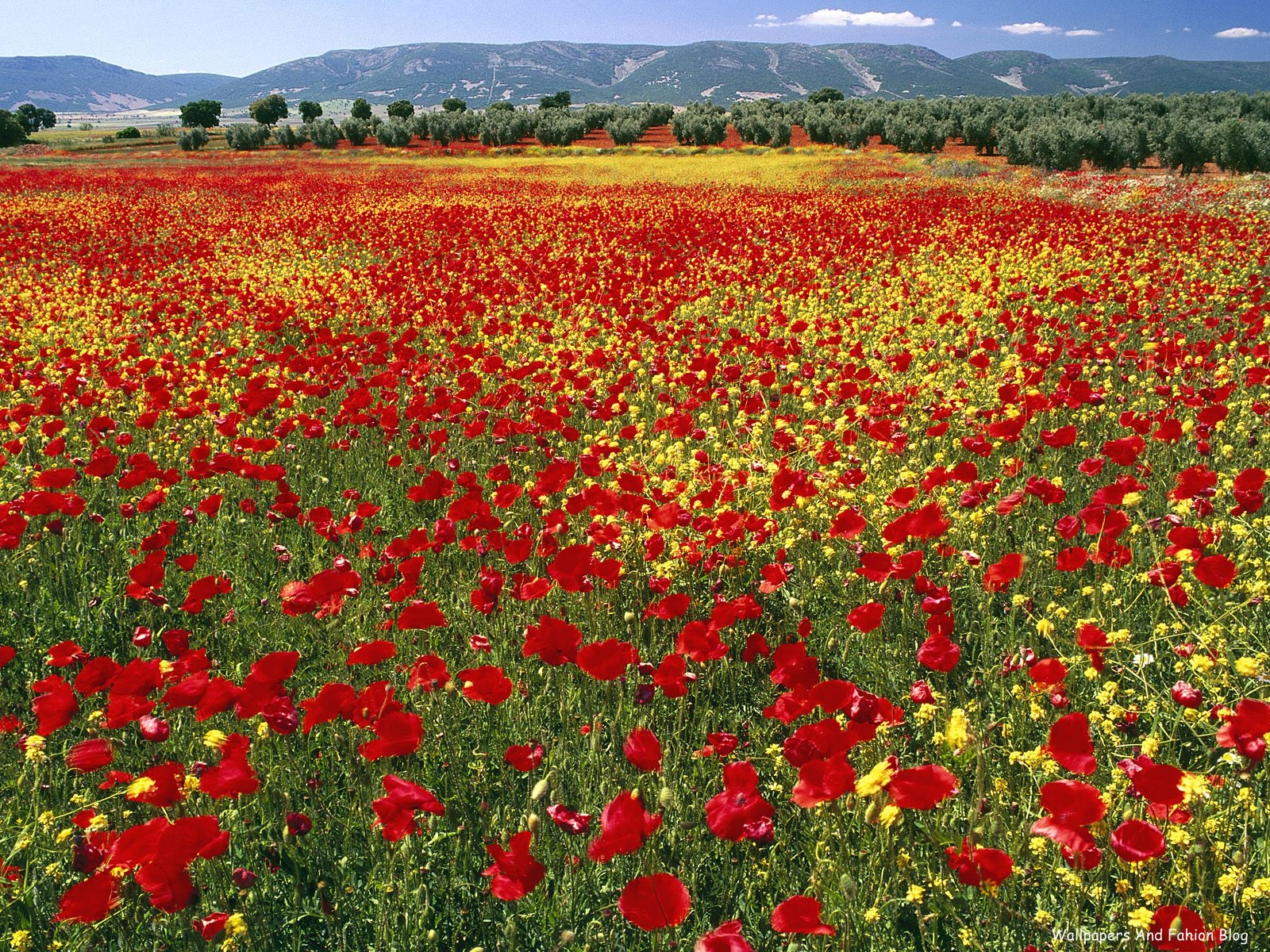 http://1.bp.blogspot.com/-QsyaBco3Sts/TpjTdrUWk8I/AAAAAAAACqQ/Hf9M9pNAYZs/s1600/Endless+Poppies%252C+Spain.jpg
