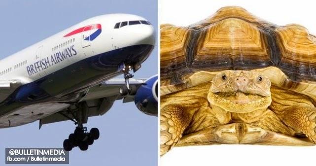 Kura-Kura Sesat Di Landasan Punca Banyak Penerbangan Ditunda