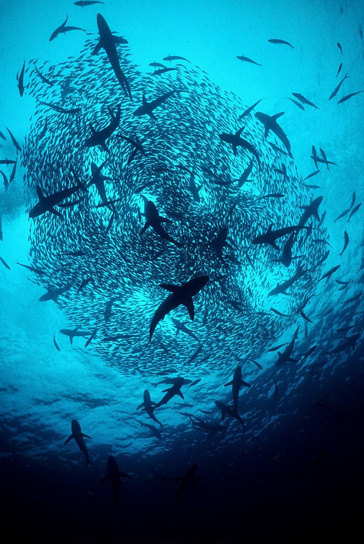 The best shark dive in the world north carolina shark for Feeding frenzy fish