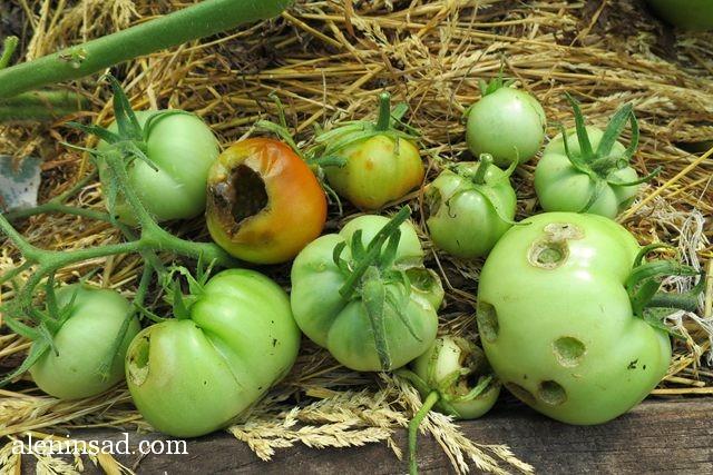 помидоры, томаты, без ухода, в теплице, балконные, красные, зеленые, мульча, мульчирование, аленин сад, улитка, виноградная, слизни, вредители, томатов, помидор, помидоров