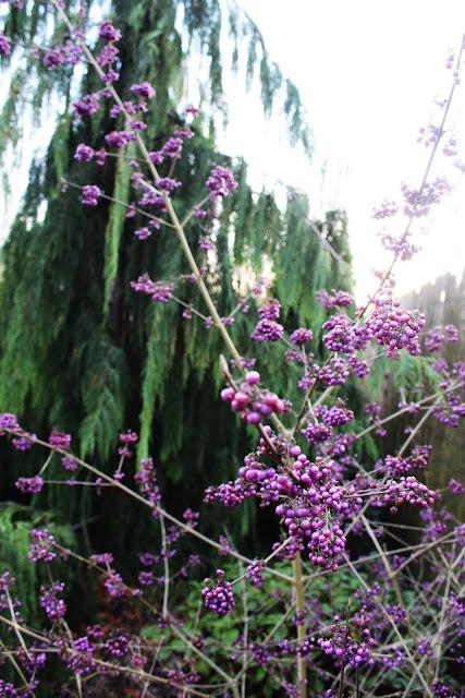 fioletowe kuleczki w ogrodzie,pięknotka budinera zdjęcia, pięknotka budinera ptaki ja uwielbiają, cyprysik nuktajski