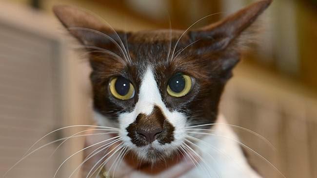 OZ, kucing yang memiliki peta Australia di hidungnya