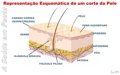 Corte esquemático da pele e o sistema tegumentar