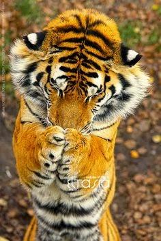 Harimau Yang Lucu