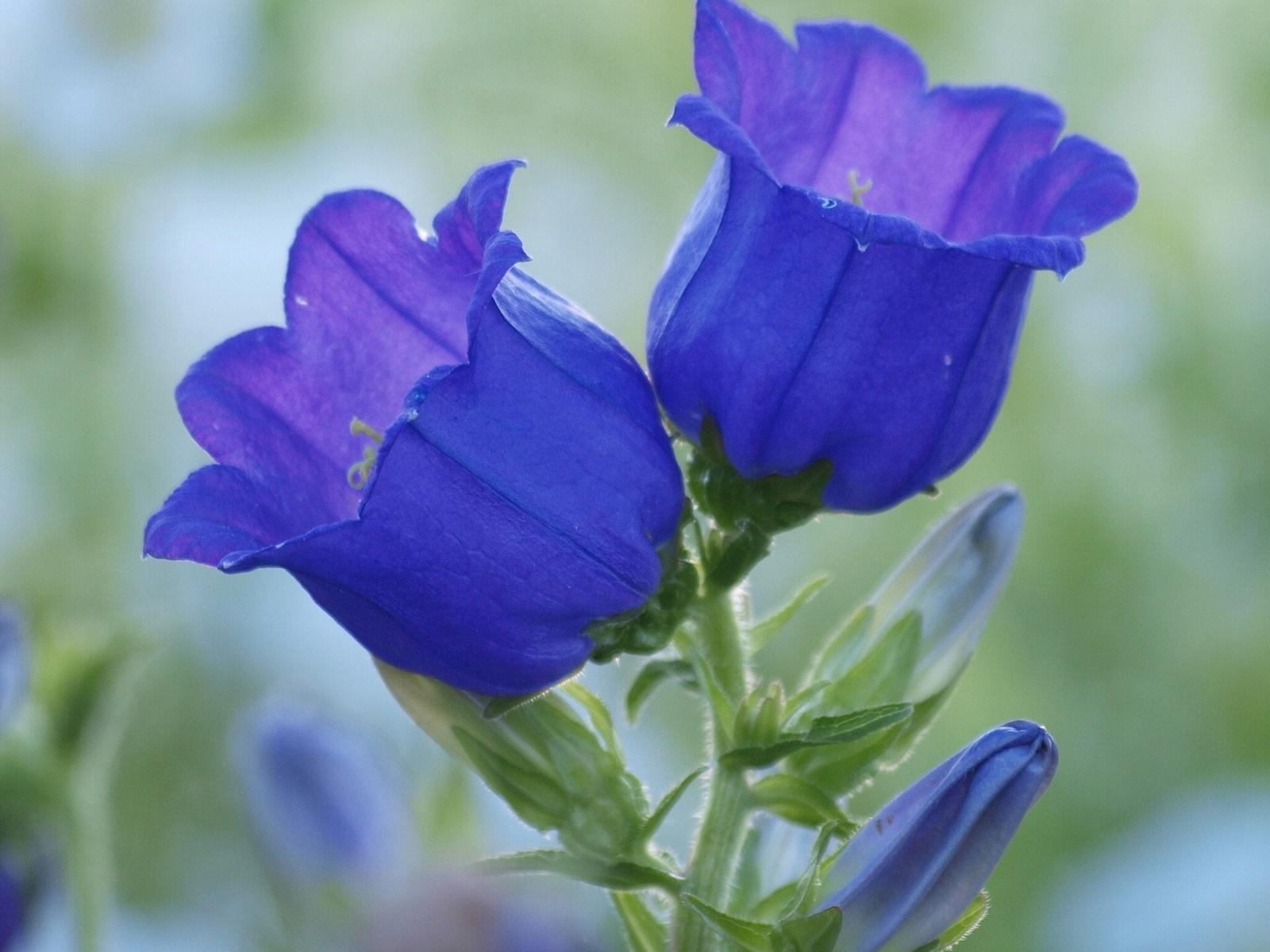 Fotos de flores campanas color azules Mejores fotos del mundo para ...