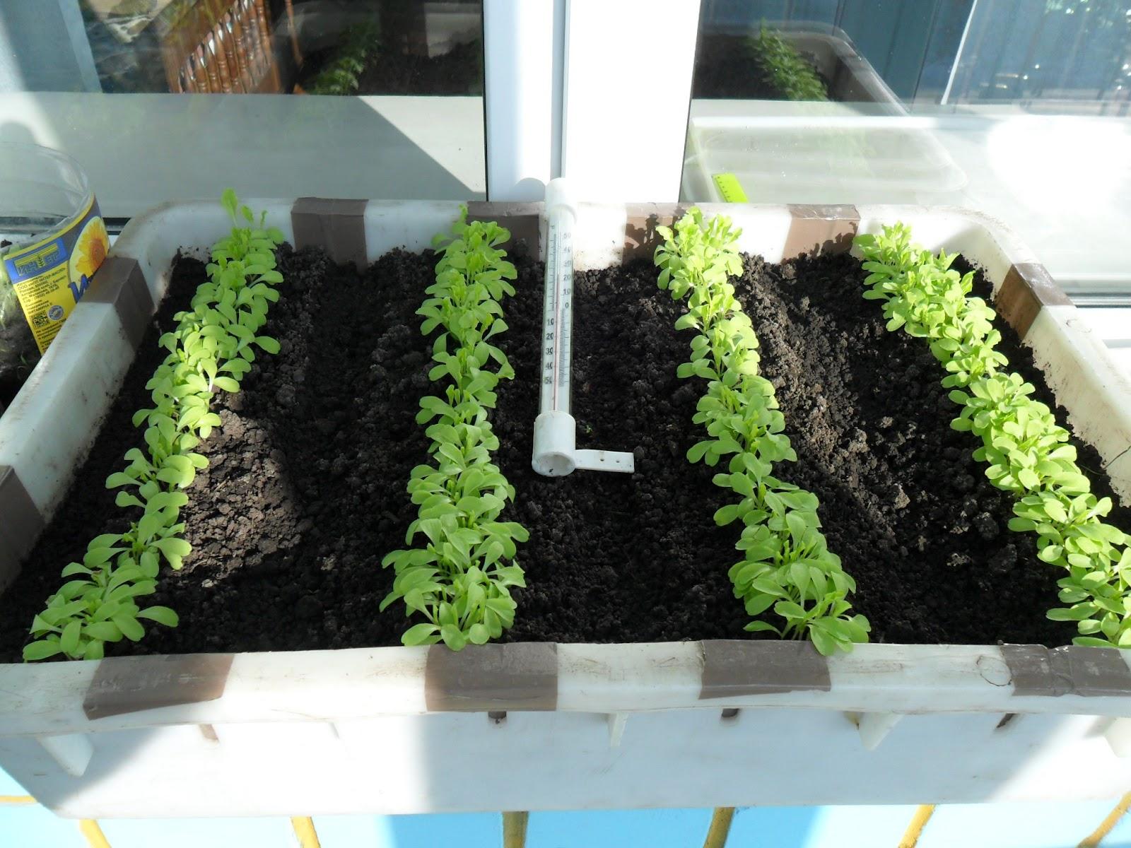 Как сажать семена салата в домашних условиях 16