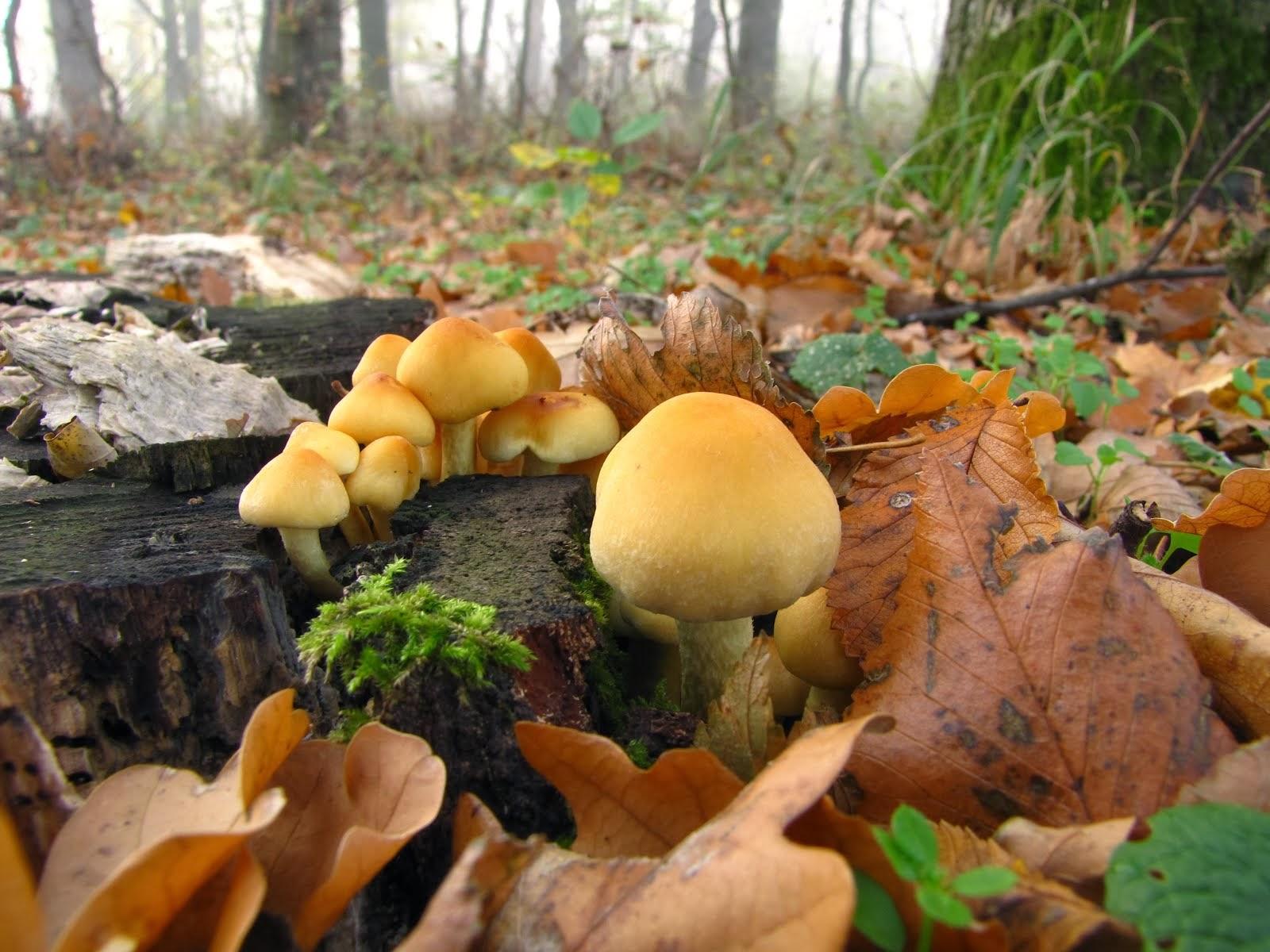 Galeria mea cu ciuperci    (My mushrooms gallery)