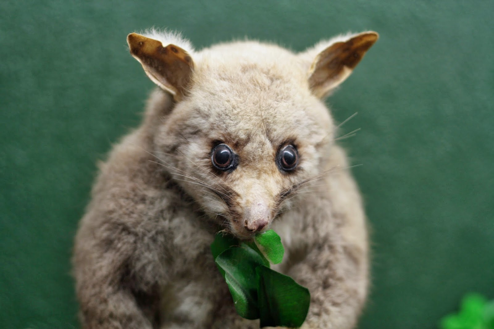 A soft looking taxidermied possum munches a plastic leaf.