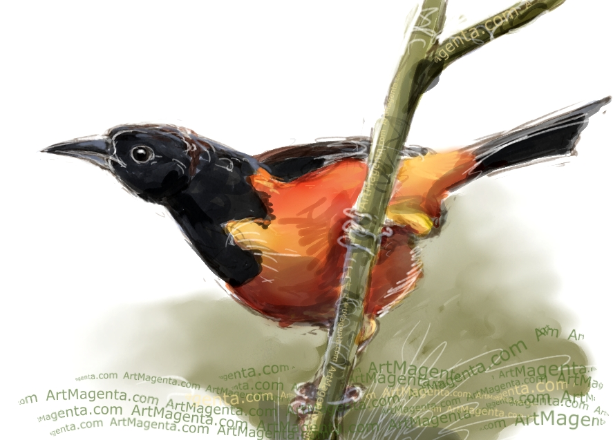 Montserrat oriole sketch painting. Bird art drawing by illustrator Artmagenta