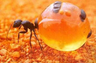 hương vị thơm ngon và giá trị dinh dưỡng của Kiến honeypot