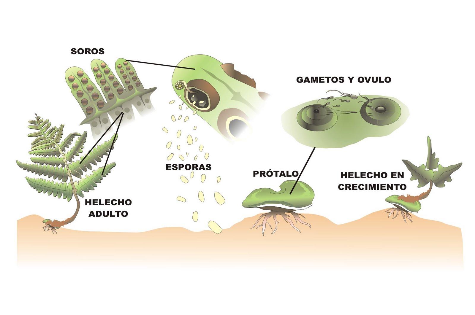 BIOLOGÍA Y GEOLOGÍA 1º ESO: 1º ESO: REINO PLANTAS (III). LOS HELECHOS.