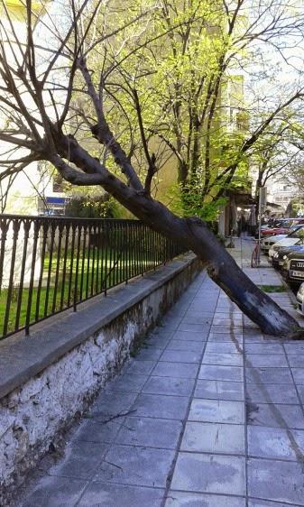 Ένα δέντρο έπεσε, ευκαιρία να δικαιολογήσουν την κοπή εκατοντάδων με τις αναπλάσεις και άλλων τόσων μελλοντικά