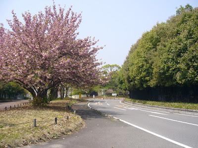 大阪府・万博記念公園 ボタンザクラ