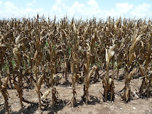 Overheated corn crop
