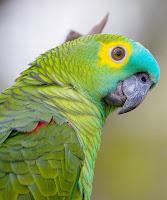 Papagaio em Piada suja.