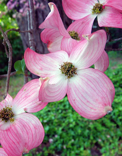Pink Dogwood Tree Blossoms