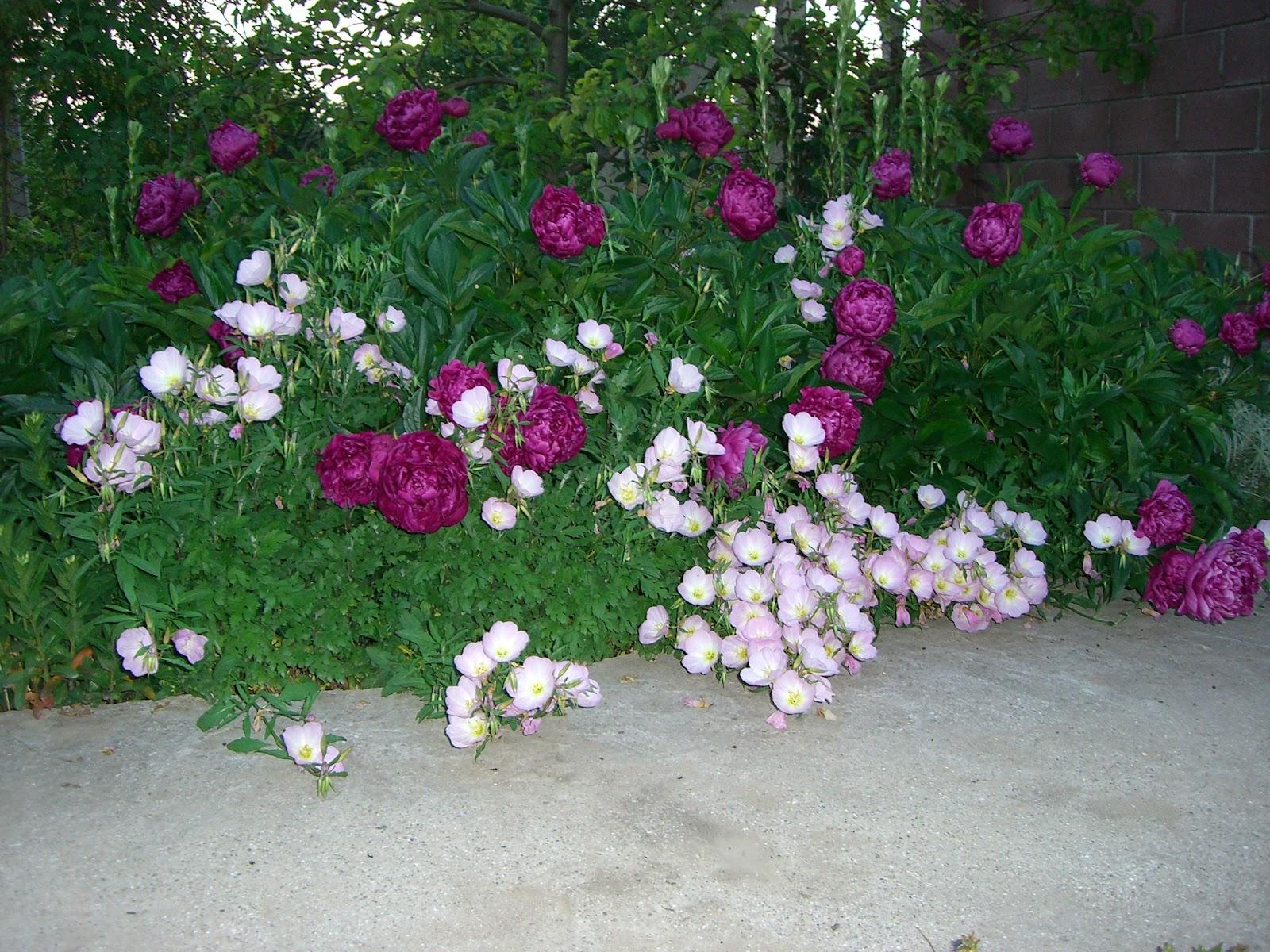 Красивые многолетние цветы для сада фото