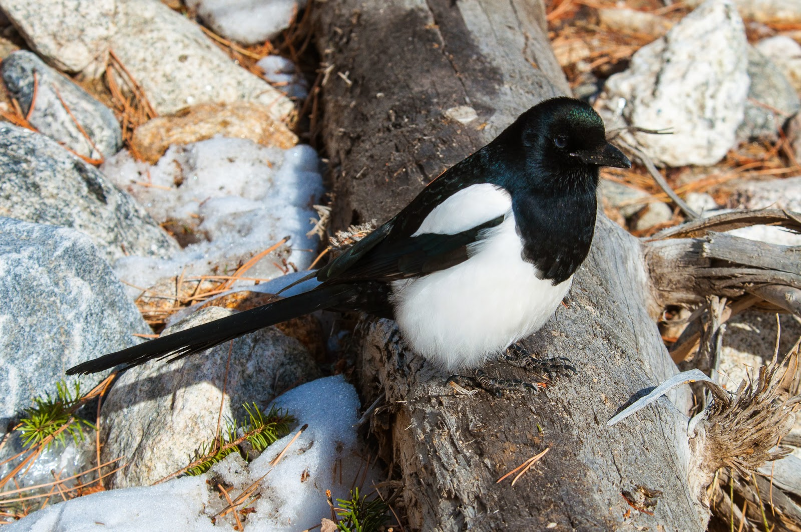 Magpie, Rocky Mountain National Park