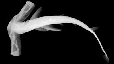 Por que alguns tubarões têm cabeça em forma de martelo?