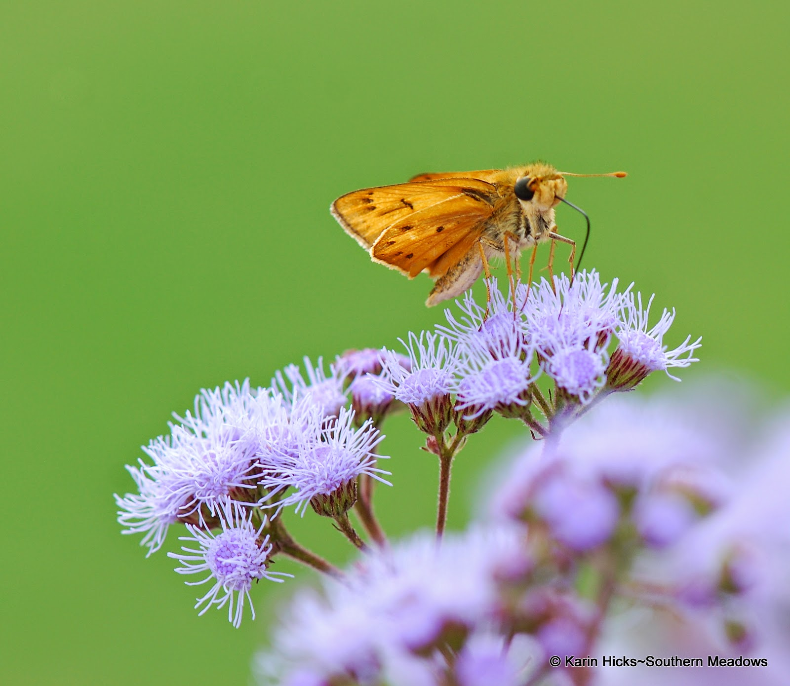 Fiery skipper butterfly (Hylephila phyleus)