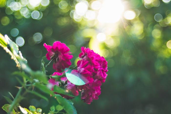 rose ukraine village countryside sunlight summer flower