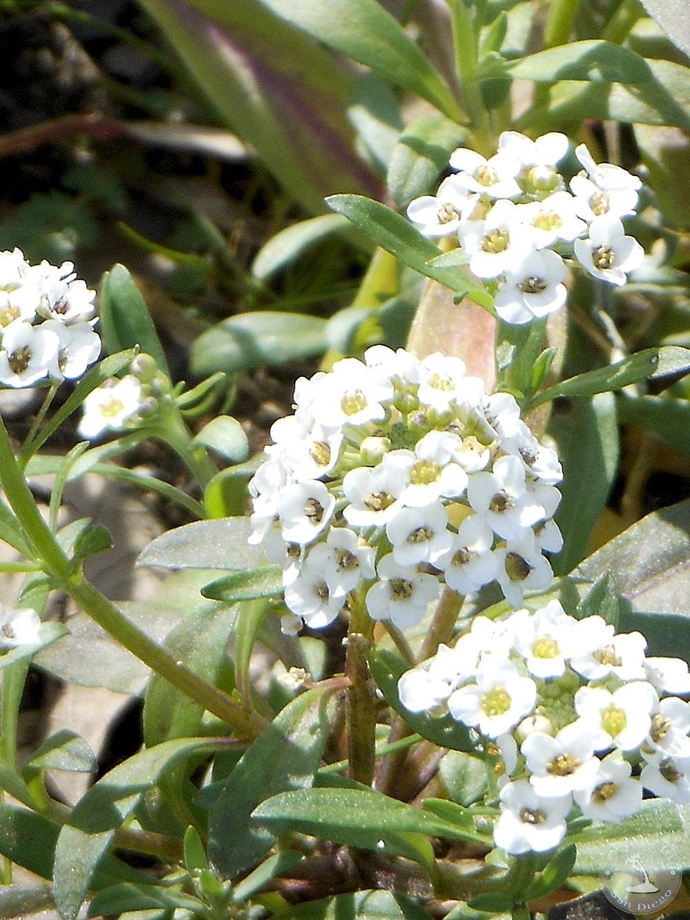 White flower san diego images flower decoration ideas a day in san diego san diego flowers in bloom sweet alyssum white flowers san diego mightylinksfo Images