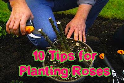 10 Tips for Planting Roses