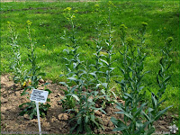 http://plantsgallery.blogspot.com/2014/03/isatis-tinctoria-urzet-barwierski.html
