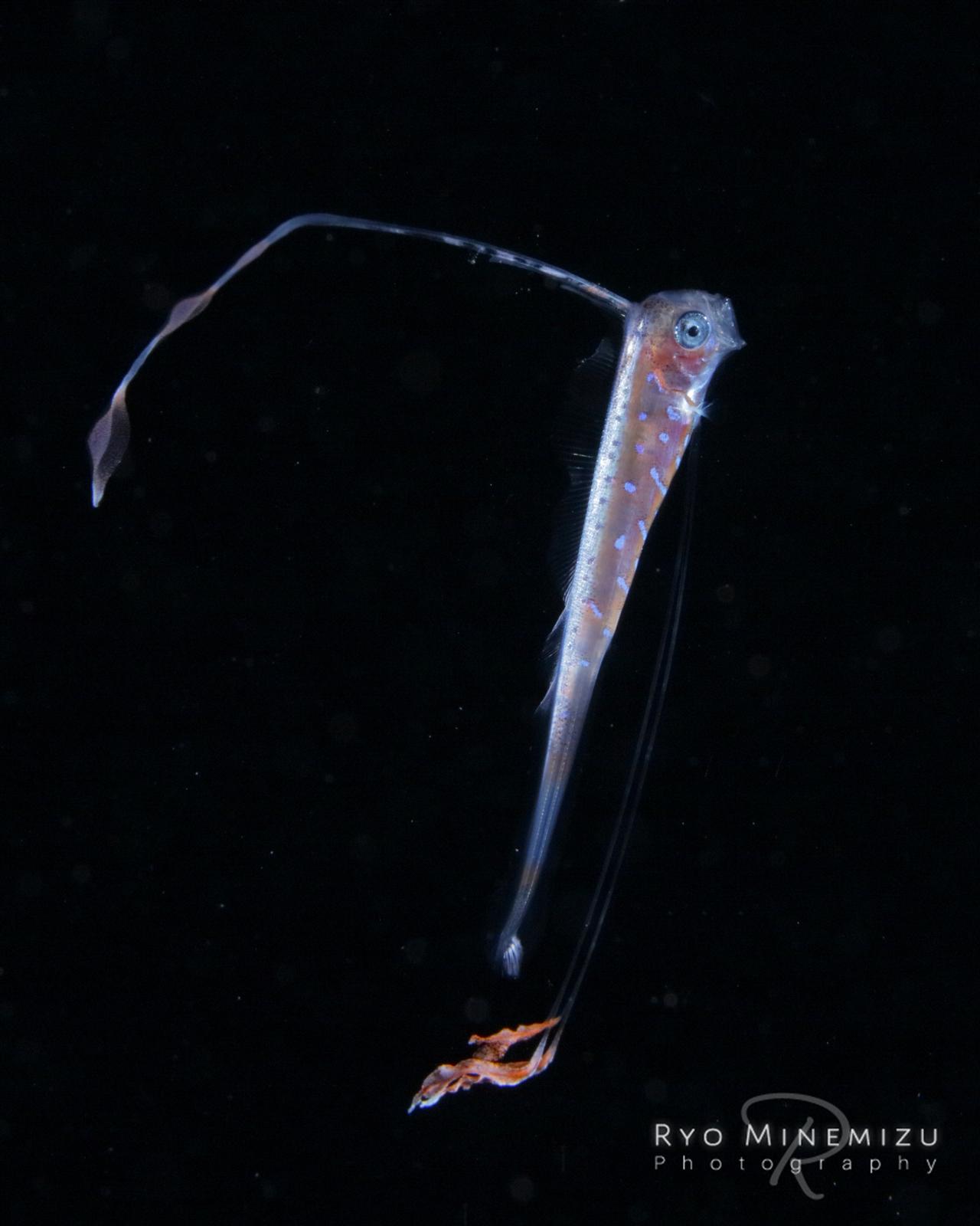 リュウグウノツカイ 稚魚