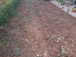 cleared and ready for more peas