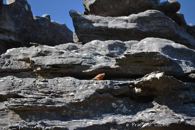 Rock Kestral in the rocks