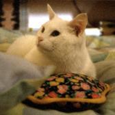 [Egenore, il gatto bianco]