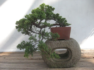 Japanese juniper