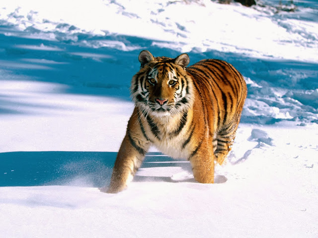 Tiger Wallpapers Free Download