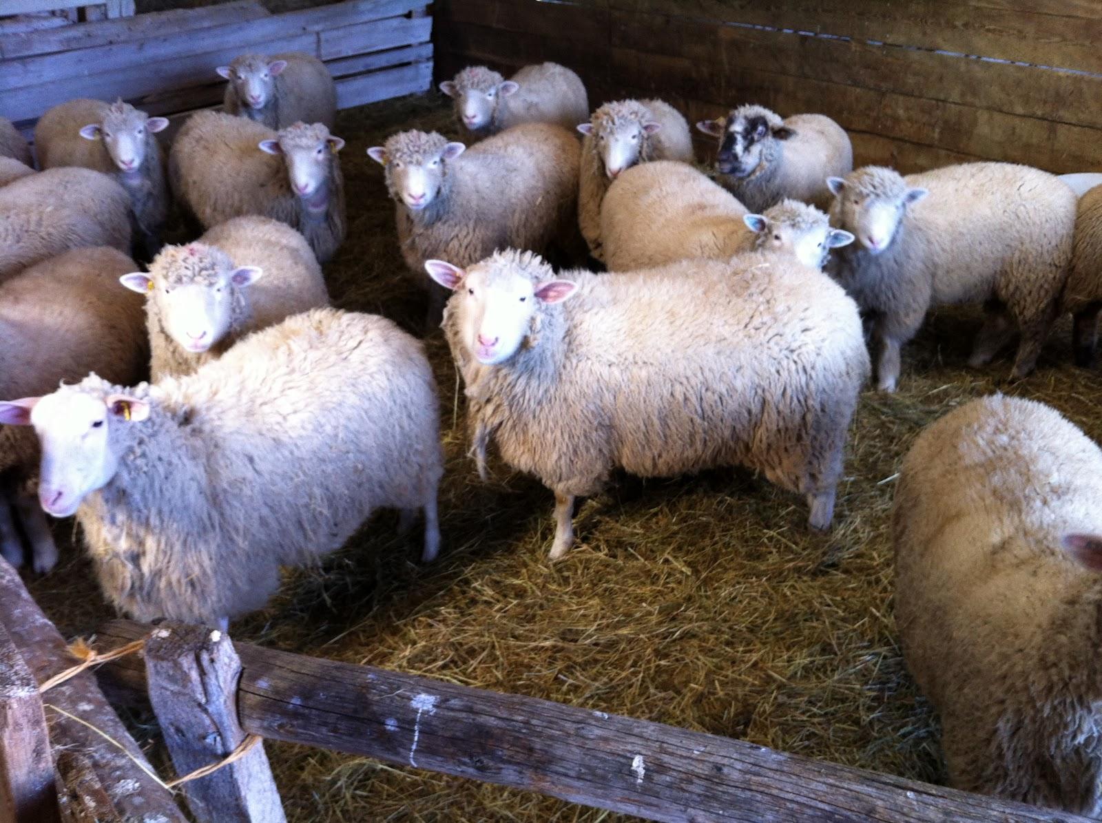 Man Mating Sheep