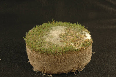 Active Dollar Spot Mycelium after One Night of Incubation