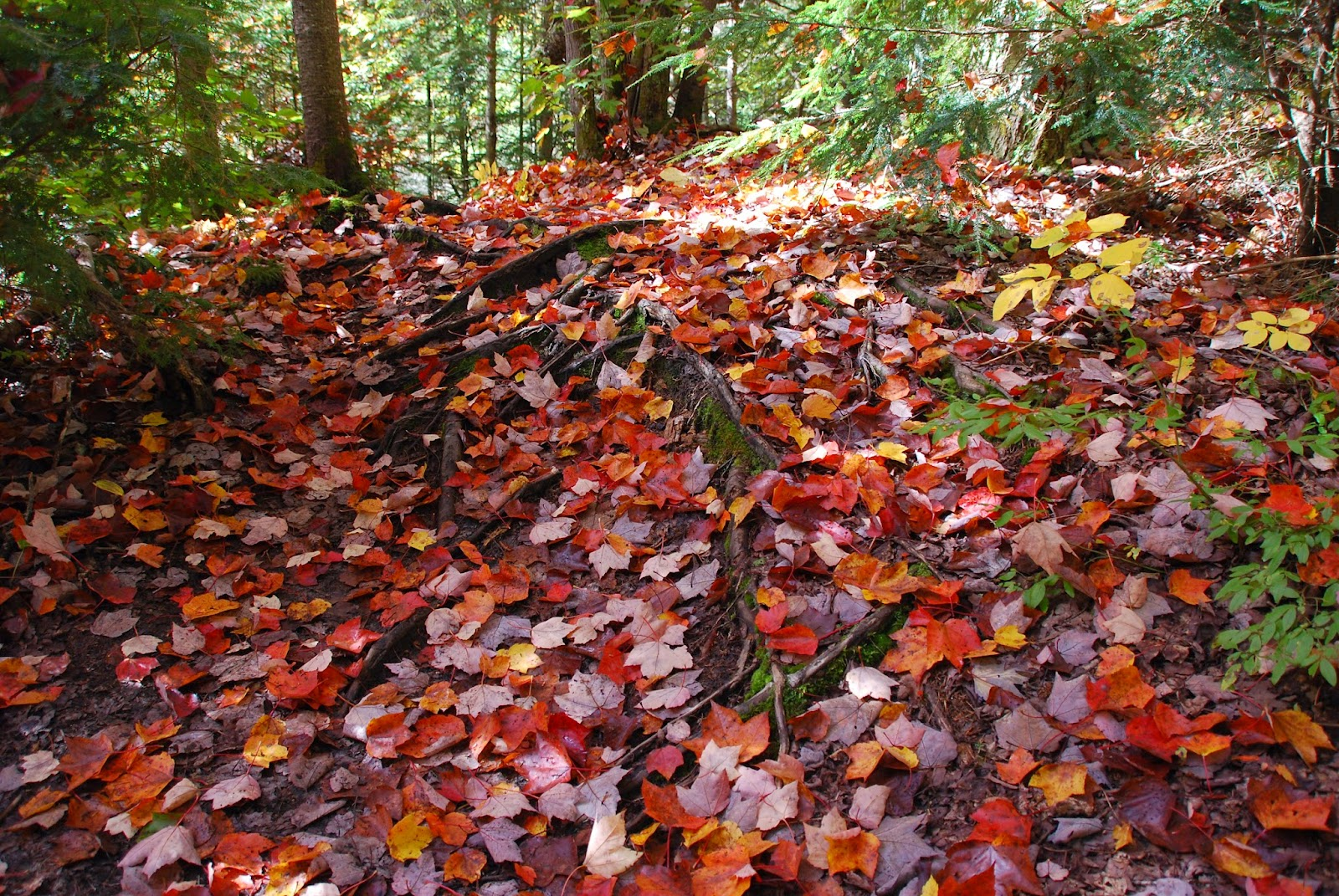fall leaves cover the ground in the forest