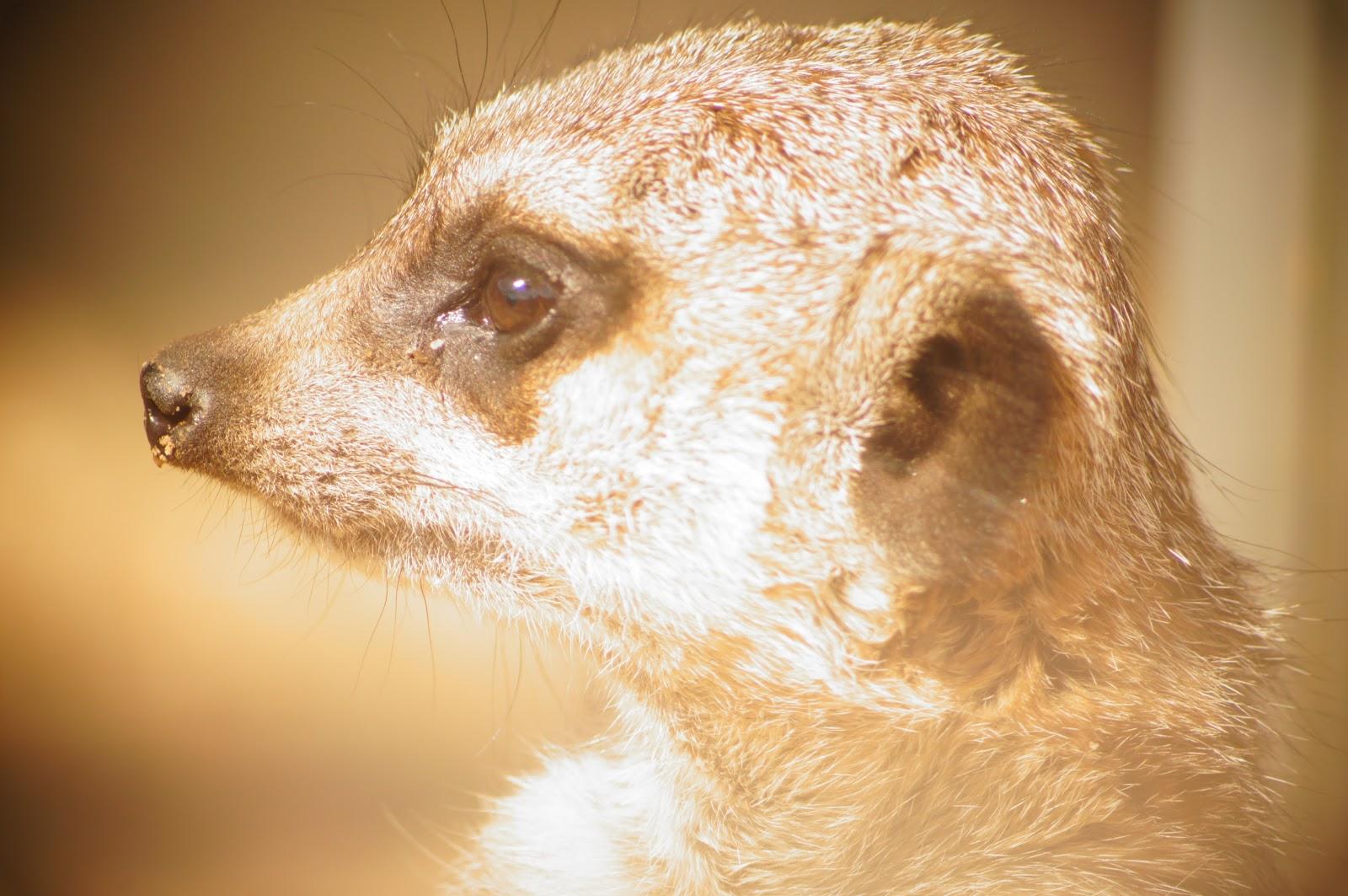 meerkat free image